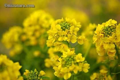 カンザキハナナ 千葉市花の美術館