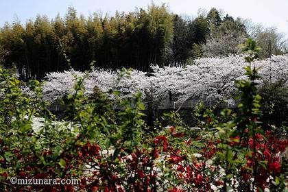 六方調整池 桜