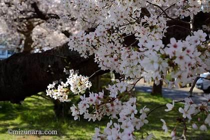 桜 花園グリーンベルト