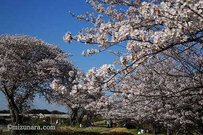 桜 花見川千本桜緑地
