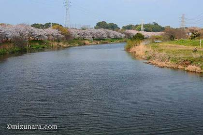 桜 花見川桜並木