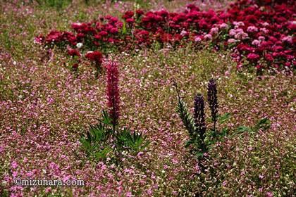 シレネ シレネの庭