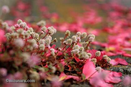 ヒメツルソバ 山茶花