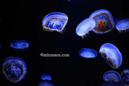 クラゲ 加茂水族館