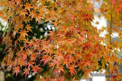 冬の雨 紅葉