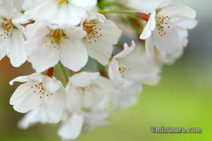 弁天さまの桜 桜