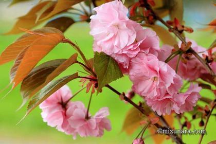 八重桜 桜