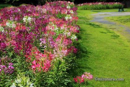 クレオメ 千葉市花の美術館
