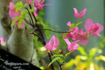 ゴールデンシャワー 千葉市花の美術館