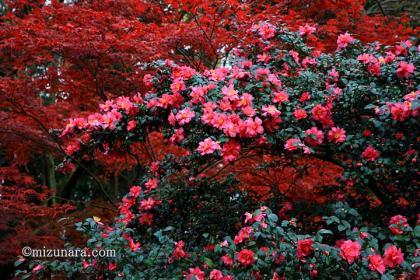 山茶花 紅葉