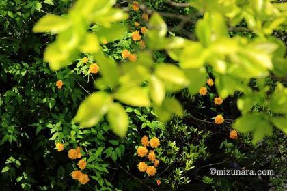 ヤマブキ 柿
