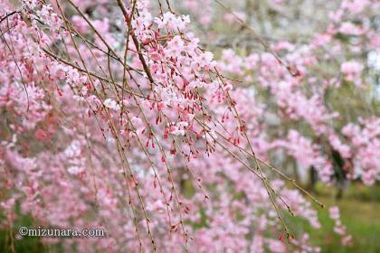 川村記念美術館 枝垂桜 桜