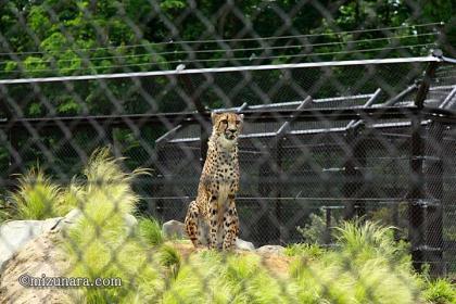 チーター 千葉市動物公園