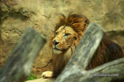 ライオン 千葉市動物公園