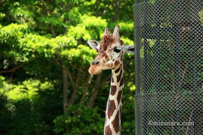 キリン 千葉市動物公園