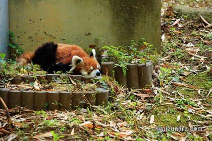 レッサーパンダ 千葉市動物公園