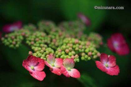 千葉市花の美術館 紫陽花