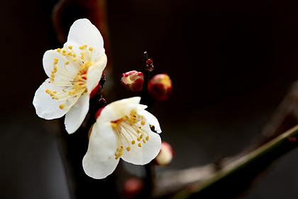 咲き出した梅の花