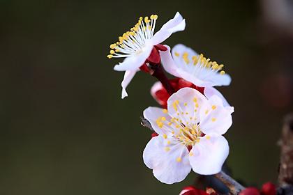庭の梅 咲き出す