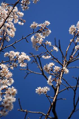 庭の桜は散り始め