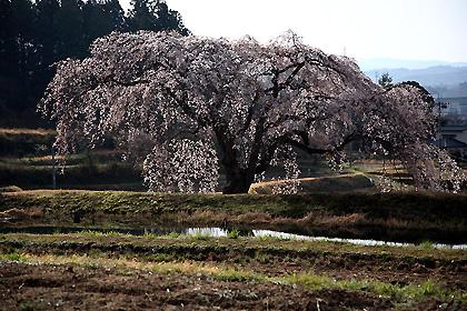 花園のしだれ桜