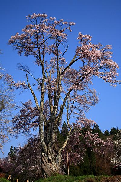 うえんでの桜