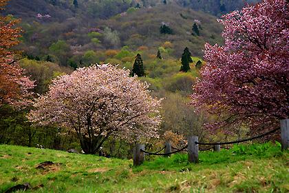 西蔵王放牧場の大山桜