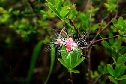 ワタスゲの種子