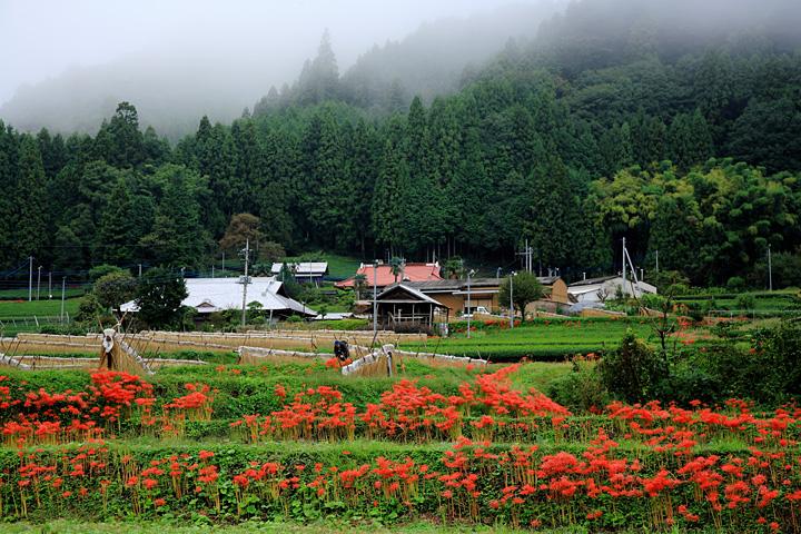 大子町の彼岸花 - ギャラリー水楢
