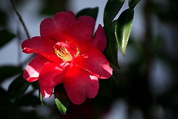 庭の山茶花