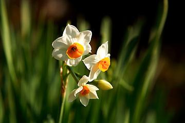 初咲きの水仙