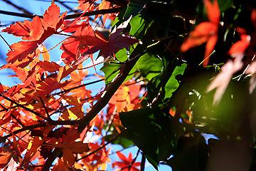 楓の残り葉