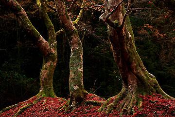 日高邸跡の3本の大楓