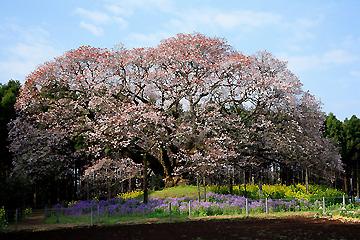 吉高の山桜