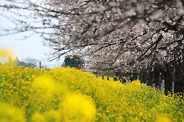 真岡市 桜・菜の花街道