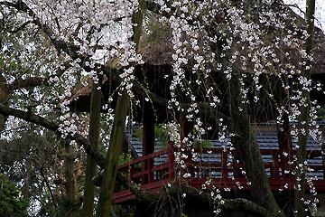 法輪寺 西行桜