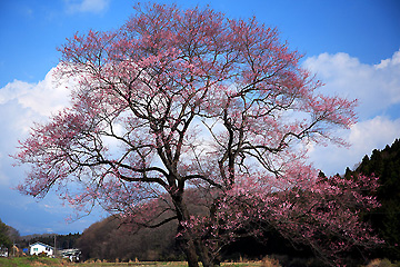 那須町高久の桜