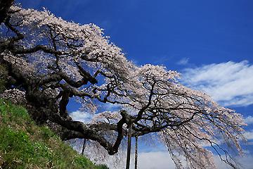 東堂山観音桜