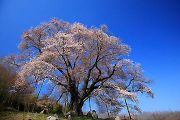 越代の山桜