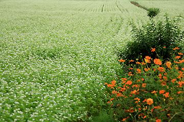 そば畑の畦に咲くキザキコスモス