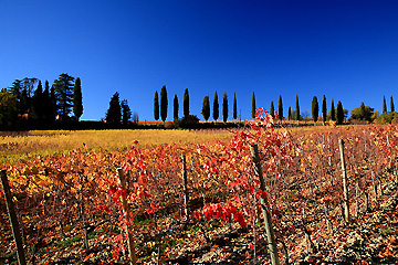 モンテプルチャーノ郊外のブドウ畑