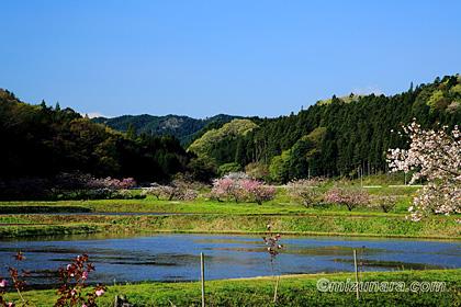 ぼたん桜 大子町相川