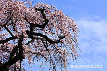 枝垂桜 桜 長光寺