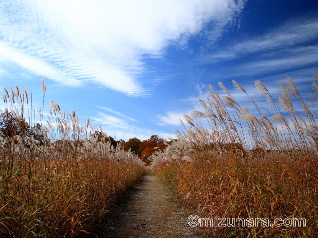 秋深まるススキの原